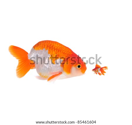 large and small goldfish showing different competition - stock photo