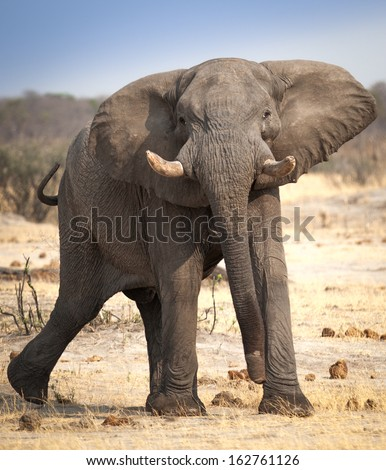 elephant angry stock photos images amp pictures shutterstock