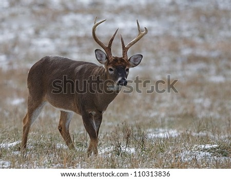 large antlered Whitetail Buck walking through a hay field with snow, Great Smoky Mountains National Park, Tennessee / North Carolina; white tail, white tailed, white-tail, white-tailed, whitetailed - stock photo