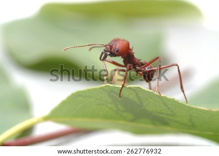 Large ants on green leaf.. Macro photography. - stock photo