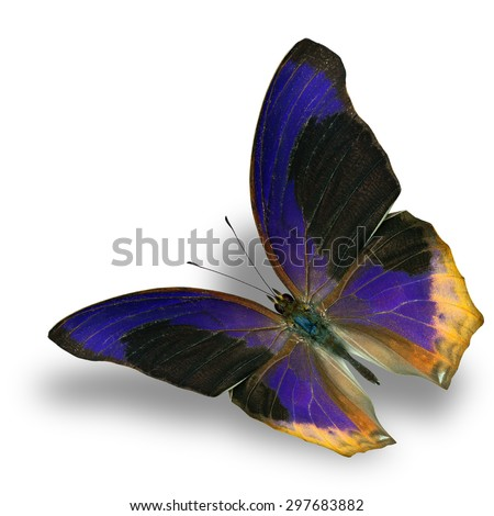 Large Assyrian (terinos atlita) the beautiful flying blue butterfly on white background with soft shadow beneath - stock photo
