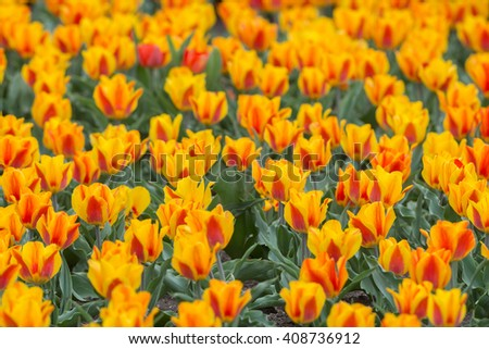 Large bed of orange and red tulips - stock photo
