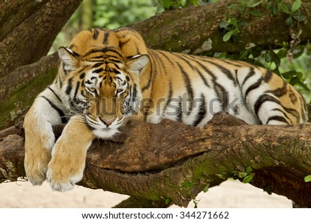 Large Bengal tiger lying on a branch of a tree on a hot summers day - stock photo