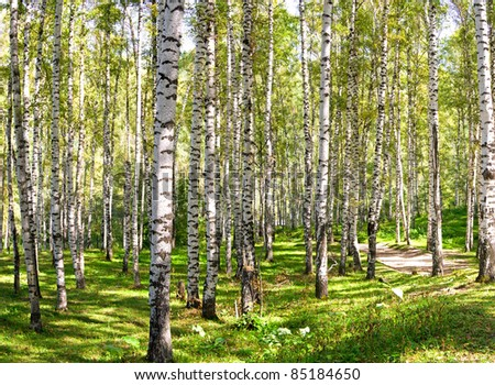 Large Birch and Aspens Trees Forest in summer. - stock photo
