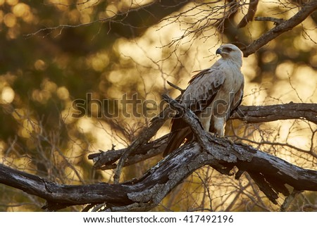 Large bird of prey, Tawny eagle, Aquila rapax perched on branch, with opened beak against golden light of setting sun coming through tree branches in background. Kruger national park, South Africa. - stock photo