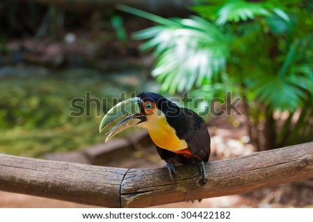 Large bird with bright plumage and a huge beak. Toucan in the South American zoo of exotic tropical birds - stock photo