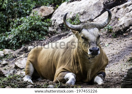 Large bison in the forest, bison in grasslands, wild Plains Bison, close up with selective focus and green nature background - stock photo