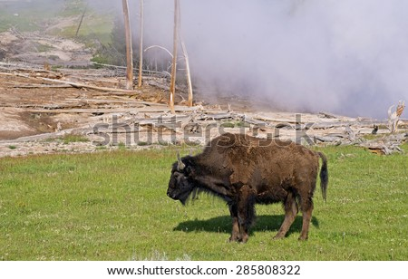 Large Bison strolls beside an active geyser in Yellowstone. - stock photo