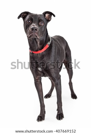 Large black Labrador Retriever and Pit Bull mixed breed dog standing on white background