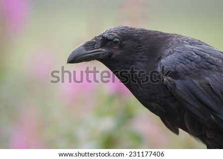 Large black raven close up, on a background of flowers - stock photo