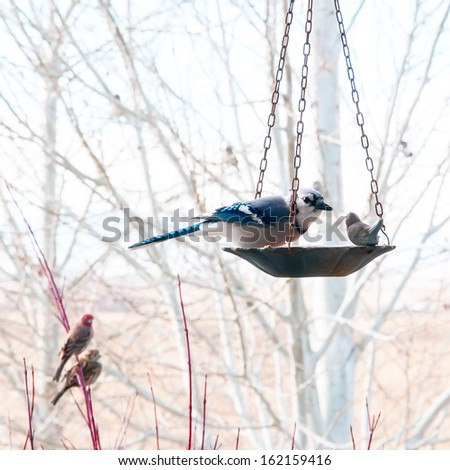 Large blue jay eats bird seed from the feeder while a house wren and a sparrow wait their turn. - stock photo