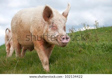 Large boar in paddock - stock photo