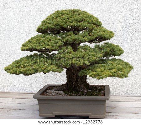 Large Bonsai - stock photo