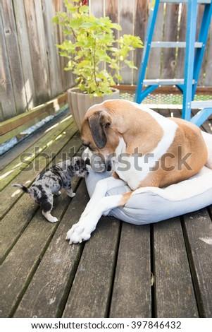 Large Boxer Mix Dog Meeting Tiny Mixed Breed Puppy - stock photo