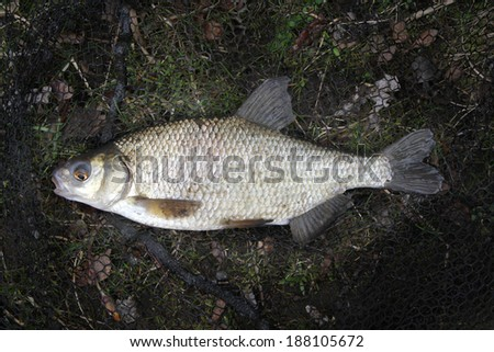 Large Bream caught in fresh water commercial fishing lake.