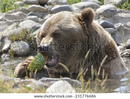 large brown bear eating watermelon - stock photo