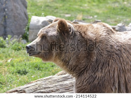 large brown bear on sunny day