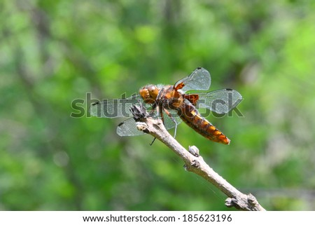 Large brown dragonfly sits on a branch after patrolling its territory. This large dragonfly zealously guarded its territory above the forest glade, near the Castel mount, Crimea - stock photo