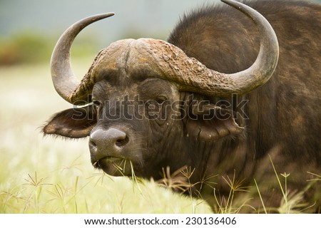 large buffalo standing and staring with some grass in its mouth - stock photo