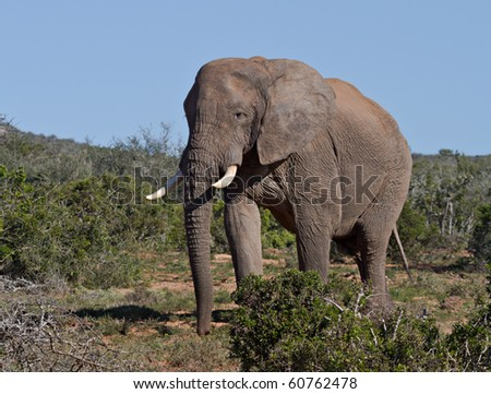 Large bull elephant emerging from the African bush in the Addo Elephant National Park
