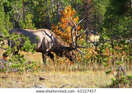 Large bull elk grazing in opening in forest with colorful trees as background in Yellowstone National Forest. - stock photo