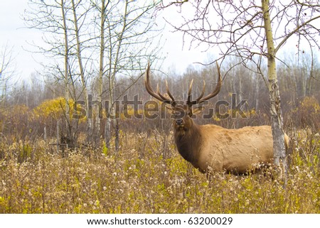 Large bull elk in a weed field on an overcast fall morning - stock photo