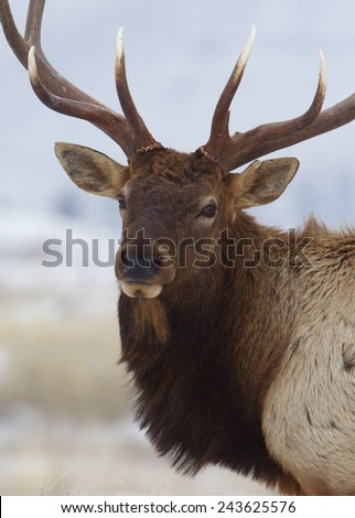 Large Bull Elk Stag, close up portrait against a natural background 7 by 7 point antlered Rocky Mountain Elk, Cervus canadensis  Montana Colorado Wyoming big game & deer hunting - stock photo