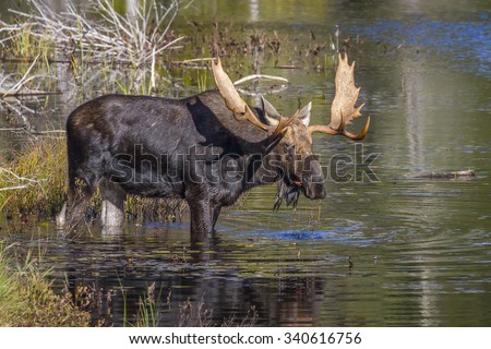 Large Bull Moose (Alces alces) Feeding on Water Lilies Near the Shore of a Lake in Autumn - Algonquin Provincial Park, Ontario, Caanda - stock photo