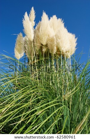 Large bunch of pampas grass under clear blue sky - stock photo