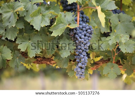 Large bunch of red wine grapes hanging from a lush green vine in soft warm light. - stock photo