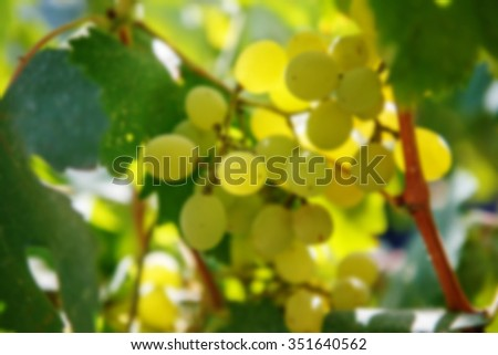 Large bunch of white wine grapes hang from a vine. Ripe grapes with green leaves. Wine concept. Blurred - stock photo