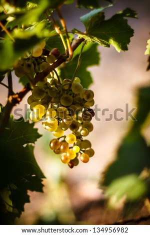 Large bunch of white wine grapes hang from a vine, warm. Ripe grapes with green leaves. Nature background with Vineyard.  Wine concept - stock photo