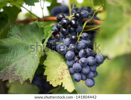 Large bunch . Ripe grapes with green leaves. - stock photo