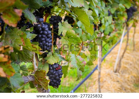 large bunches of wine grapes hang from a vine, warm background color at Vineyard - stock photo