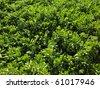 large bush of Naupaka Kahakai making a cool pattern background. - stock photo