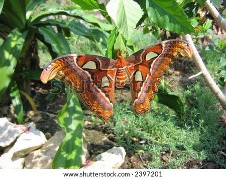 Large butterfly in the Cayman Islands - stock photo