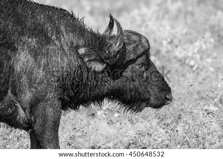 Large Cape buffalo standing at water side of river, Africa