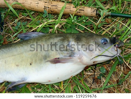 """Large catfish caught fly fishing - fat fish with a big belly on bank of a pond with fishing rod and lure in its mouth (""""wooly bugger"""" fly) - stock photo"""