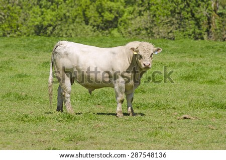 Large Charolais bull standing in a ranchers field - stock photo