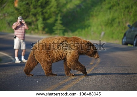 Large Cinnamon-phase Black Bear crosses road, photographer and car in background, Yellowstone National Park