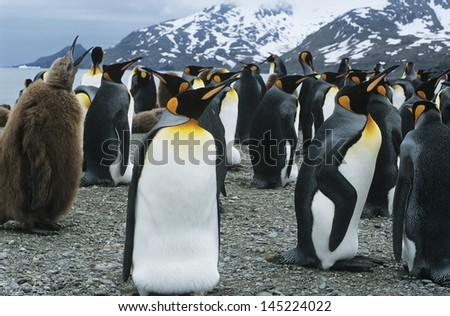 Large collony of Penguins - stock photo