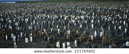 Large colony of Penguins - stock photo
