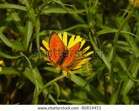 Large copper butterfly Lycaena dispar and yellow flower, Vercors mountain massif, France - stock photo