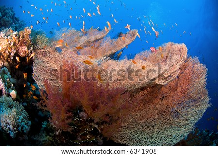 Large coral fan with fish