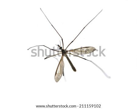 Large crane fly on white background - stock photo