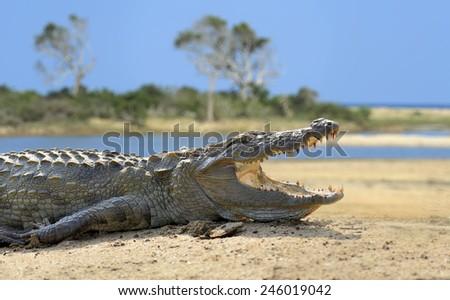 Large crocodile, National Park, Sri Lanka  - stock photo