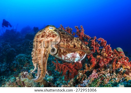 Large Cuttlefish deep underwater with background SCUBA divers - stock photo