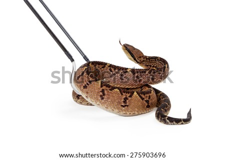Large dangerous Central American Bushmaster snake being picked up with hooks by a trainer animal handler - stock photo