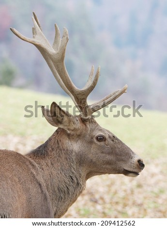 Large deer buck - stock photo