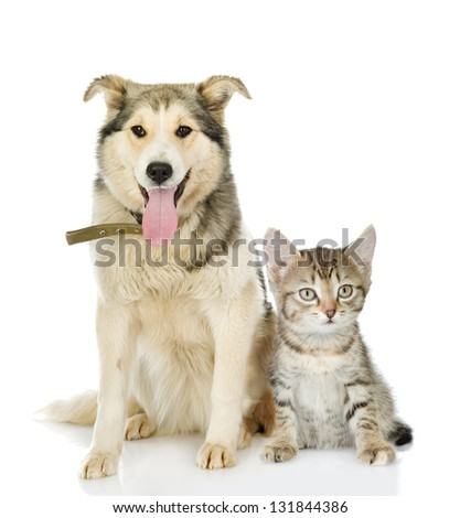 large dog and kitten. looking at camera. isolated on white background - stock photo